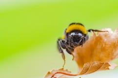 一只美丽的镶边土蜂在自然工作 免版税库存图片