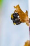一只美丽的镶边土蜂在自然工作 库存照片
