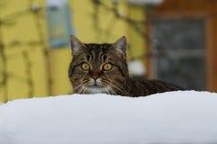 一只美丽的镶边猫在白色随风飘飞的雪后坐 免版税库存照片