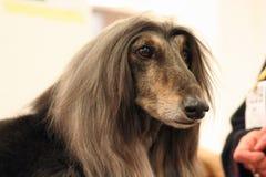 一只美丽的阿富汗猎犬的画象 免版税库存照片
