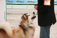 一只美丽的阿拉斯加的爱斯基摩狗的画象 库存图片