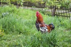 一只美丽的雄鸡在庭院里 免版税库存照片