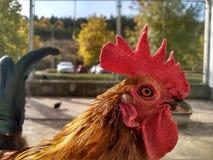 一只美丽的雄鸡的头与棕色羽毛的 库存照片