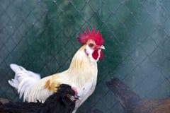一只美丽的雄鸡的画象与一把红色梳子的 库存照片
