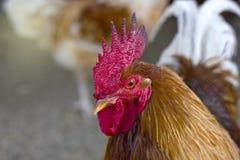 一只美丽的雄鸡的画象与一把红色梳子的 免版税图库摄影