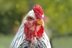 一只美丽的雄鸡的画象 库存照片