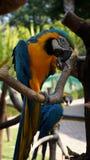 一只美丽的青和黄色鹦鹉的画象 免版税库存图片