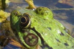 一只美丽的青蛙的头的宏观射击 免版税库存照片