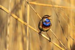 一只美丽的鸟的歌曲从丛林的 图库摄影