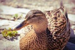 一只美丽的鸭子在科莫湖附近摆在意大利 浅深度的域 库存照片