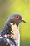 一只美丽的鸽子的画象 免版税库存图片