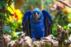 一只美丽的鹦鹉在Ubud,巴厘岛,印度尼西亚热带动物园里  免版税库存图片