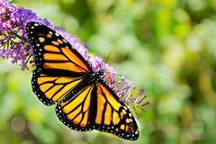 一只美丽的黑脉金斑蝶的特写镜头与被涂的翼的 库存图片