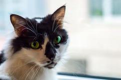 一只美丽的黑白家猫的画象与嫉妒的在窗口前面 库存图片