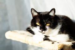 一只美丽的黑白猫的画象 免版税库存照片