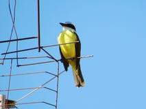 一只美丽的黄色和黑鸟 库存图片