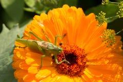 一只美丽的绿色蚂蚱坐金盏草 基于花的昆虫 英国万寿菊特写镜头 免版税库存图片