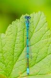 一只美丽的蜻蜓在一个夏日坐一片绿色叶子与 免版税库存图片