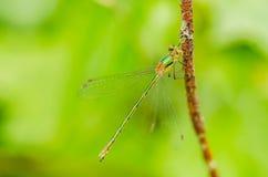 一只美丽的蜻蜓在一个夏日坐一片绿色叶子与 免版税图库摄影