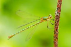 一只美丽的蜻蜓在一个夏日坐一片绿色叶子与 库存照片