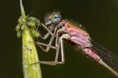 一只美丽的蜻蜓 免版税图库摄影