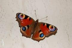 一只美丽的蝴蝶孔雀眼睛 库存照片