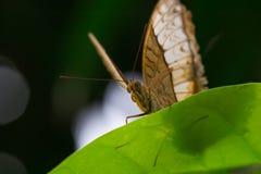 一只美丽的蝴蝶本质上 免版税库存图片