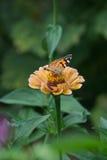 一只美丽的蝴蝶的宏观射击在一朵淡粉红的花的 免版税库存照片