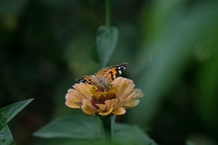 一只美丽的蝴蝶的宏观射击在一朵淡粉红的花的 库存图片