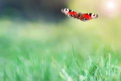 一只美丽的蝴蝶飞行在绿色草甸 库存照片