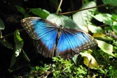一只美丽的Morpho蝴蝶在哥斯达黎加,中美洲 免版税库存照片