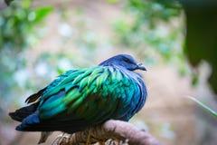 一只美丽的nicobar鸽子在夏天 免版税图库摄影