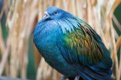 一只美丽的nicobar鸽子在夏天 免版税库存图片