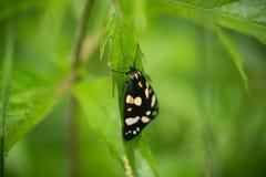 一只美丽,明亮的被察觉的蝴蝶坐一棵草在夏天晚上 免版税图库摄影