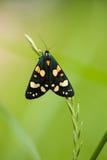 一只美丽,明亮的被察觉的蝴蝶坐一棵草在夏天晚上 库存照片