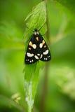 一只美丽,明亮的被察觉的蝴蝶坐一棵草在夏天晚上 免版税库存照片