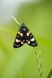 一只美丽,明亮的被察觉的蝴蝶坐一棵草在夏天晚上 免版税库存图片
