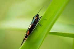 一只美丽,明亮的被察觉的蝴蝶坐一棵草在夏天晚上 库存图片