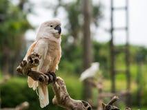 一只美冠鹦鹉在巴厘岛动物园里 图库摄影