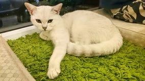 一只美好凝视白色猫 库存图片