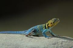 一只美好的共同性抓住衣领口的蜥蜴的画象 库存照片