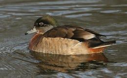 一只美好的狂放的发怒品种林鸳鸯或卡罗来纳州鸭子, Aix sponsa,在河的女性游泳 免版税库存图片