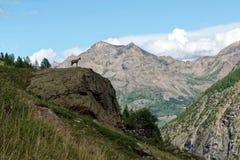 一只羚羊在Ecrins国家公园 库存图片