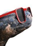 一只老加拉帕戈斯草龟的滑稽的动物画象与大红色讨厌的太阳镜的 免版税库存图片