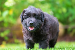 一只老德国牧羊犬小狗的画象 库存照片
