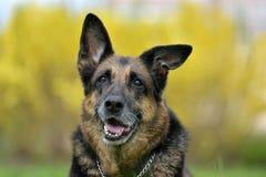 一只老德国牧羊犬的画象 免版税图库摄影