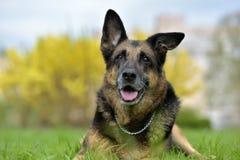 一只老德国牧羊犬的画象 免版税库存图片
