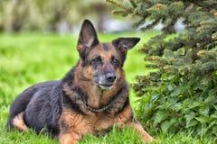 一只老德国牧羊犬的画象 库存图片