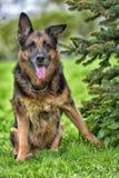 一只老德国牧羊犬的画象 库存照片