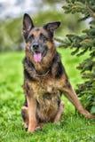 一只老德国牧羊犬的画象 免版税库存照片